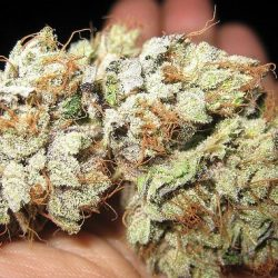 Fire-OG-Kush-Weed